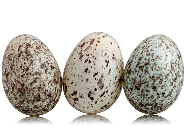 3 House Sparrow eggs