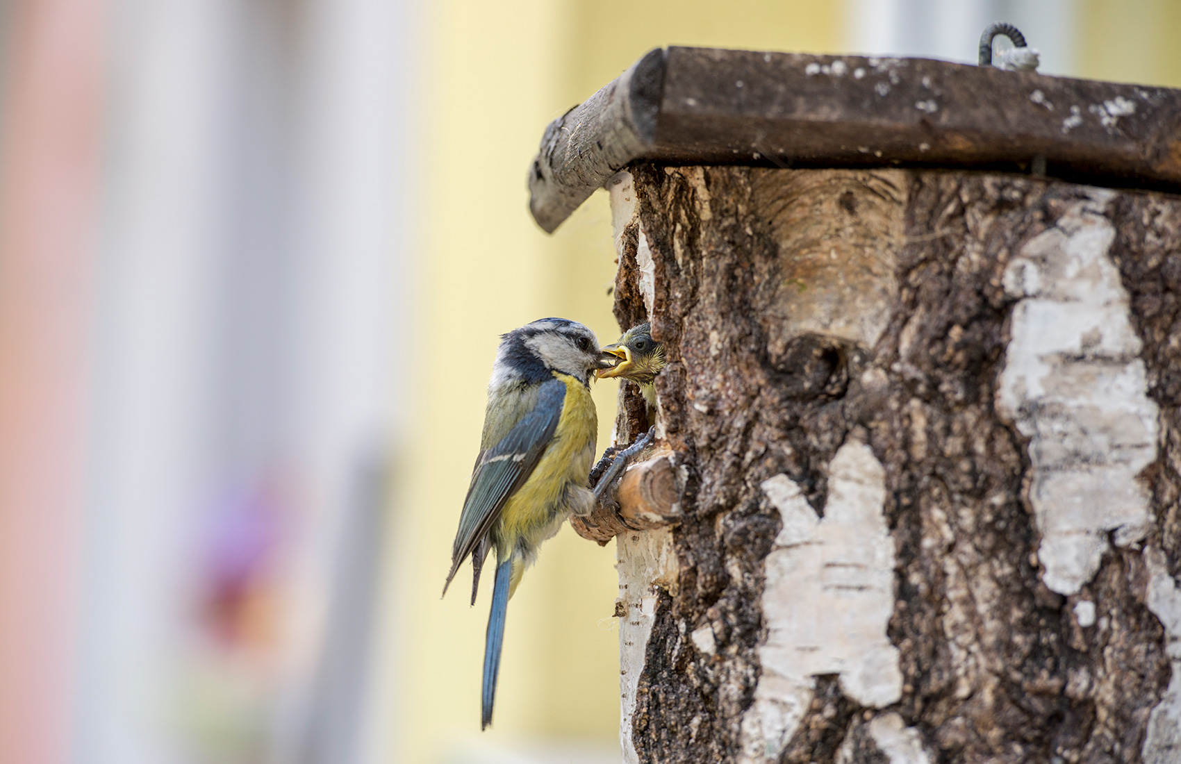 Blue Tit at Nesting Box